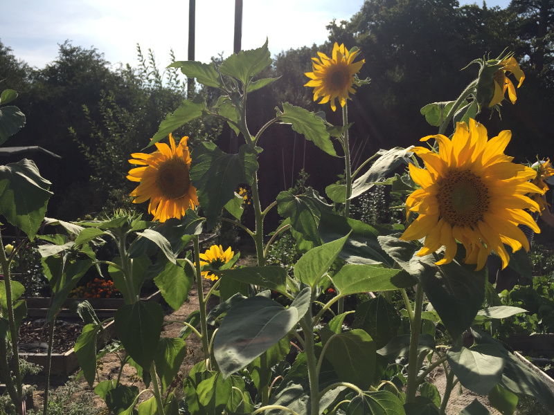 A photograph of the gorgeous Sunflowers on the allotment last year