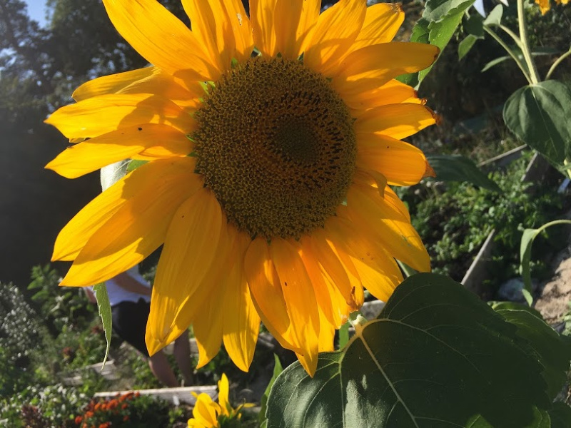 A close up photograph of the gorgeous Sunflowers on the allotment last year